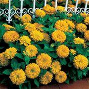 Dreamland™ Yellow Hybrid Zinnia Seeds Alternate Image 1