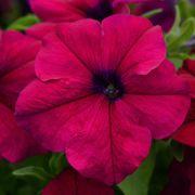 Dreams™ Pink Petunia Seeds Thumb