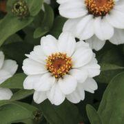 Profusion White Zinnia Seeds Alternate Image 1