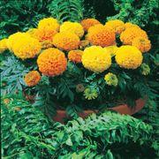 Antigua™ Mix Hybrid Marigold Seeds Thumb
