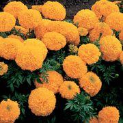 Inca II Gold Hybrid Marigold Seeds Thumb