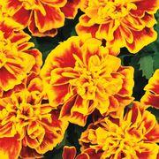 Bonanza™ Bee Marigold Seeds Thumb