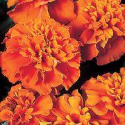 Janie Deep Orange Marigold Seeds Thumb