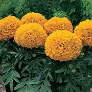 Antigua™ Orange Hybrid Marigold Seeds Thumb