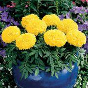 Antigua™ Yellow Hybrid Marigold Seeds Thumb