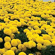 Discovery Yellow Marigold Seeds Thumb