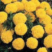 Inca II Yellow Hybrid Marigold Seeds Thumb