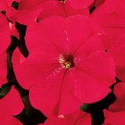Dreams™ Red Petunia Seeds Thumb