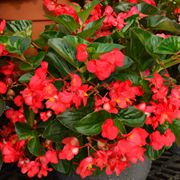BIG™ Red with Green Leaf Begonia Seeds Thumb