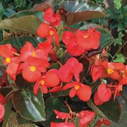 BIG™ Red with Bronze Leaf Begonia Seeds Thumb