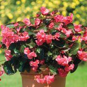 BIG™ Rose with Bronze Leaf Begonia Seeds Thumb