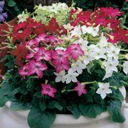 Saratoga™ Mix Hybrid Flowering Tobacco Seeds Thumb