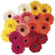Festival Grower Select Mix Hybrid Gerbera Daisy Seeds Thumb
