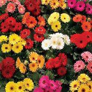 Royal™ Premium Mix Gerbera Daisy Seeds Thumb