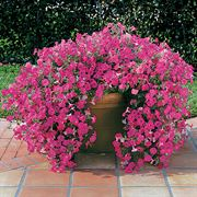 Tidal Wave® Hot Pink Petunia Seeds Alternate Image 1
