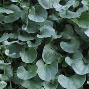 Silver Falls Dichondra Ground Cover Seeds Thumb