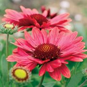 Arizona Red Shades Blanket Flower Seeds Alternate Image 1