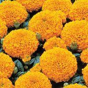 Park's Whopper Orange Marigold Seeds Thumb