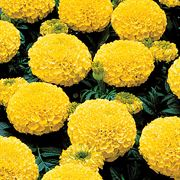 Park's Whopper Yellow Marigold Seeds Thumb