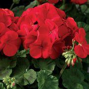 Maverick™ Scarlet Geranium Seeds Thumb