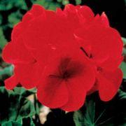 Maverick™ Red Hybrid Geranium Seeds Thumb