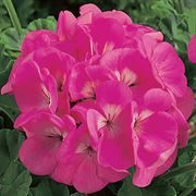 Maverick™ Pink Hybrid Geranium Seeds Thumb