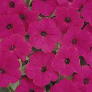 Tidal Wave® Purple Petunia Seeds Alternate Image 2
