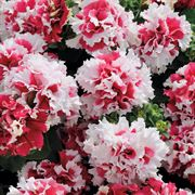 Pirouette Red Double Petunia Seeds Alternate Image 1