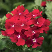 Obsession™ Red Hybrid Verbena Seeds Thumb