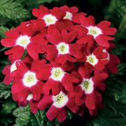Obsession™ Red with Eye Hybrid Verbena Seeds Thumb