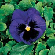 Colossus™ Deep Blue w/Blotch Hybrid Pansy Seeds Thumb