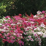Ideal Select™ Hybrid Mix Dianthus Seeds Thumb