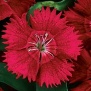 Ideal Select™ Red Hybrid Dianthus Seeds Thumb