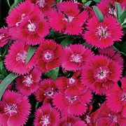 Ideal Violet Dianthus Seeds Thumb