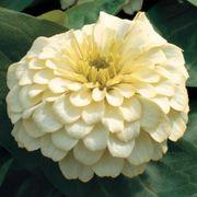 Magellan™ Ivory Zinnia Seeds Thumb