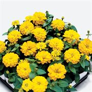 Magellan™ Yellow Zinnia Seeds Alternate Image 1