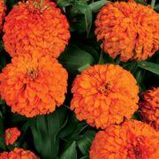Magellan™ Orange Zinnia Seeds Alternate Image 1