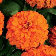 Magellan™ Orange Zinnia Seeds Alternate Image 2