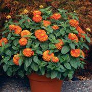 Magellan™ Orange Zinnia Seeds Thumb