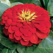 Magellan™ Scarlet Zinnia Seeds Thumb