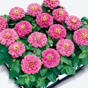 Magellan™ Pink Zinnia Seeds Alternate Image 1