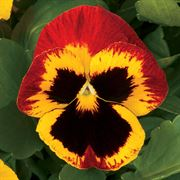 Majestic Giants ll Fire Hybrid Pansy Seeds Thumb
