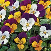 Jump-up Mix Viola Seeds Thumb