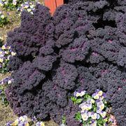 Redbor Hybrid Kale Seeds Alternate Image 1