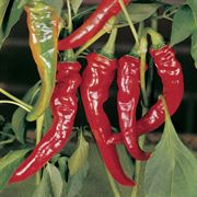 Long Red Slim Cayenne Pepper Seeds Thumb