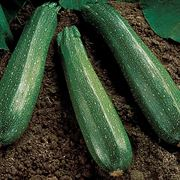 Spineless Beauty Hybrid Squash Seeds Thumb