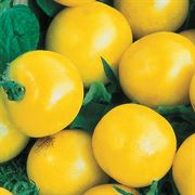 Lemon Boy Hybrid Tomato Seeds Thumb