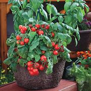Red Robin Tomato Seeds Thumb