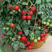 Tumbling Tom Tomato Seeds Thumb