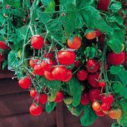 Tumbling Tom Tomato Seeds Alternate Image 1